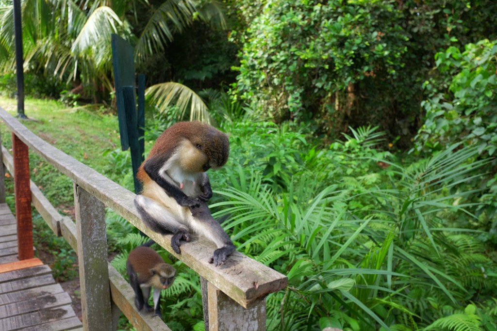 Mona Monkeys at the Lekki Conservation Centre