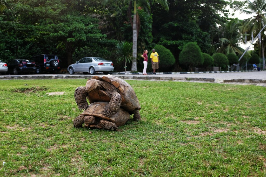 Tortoise having sex, Lekki Conservation Centre
