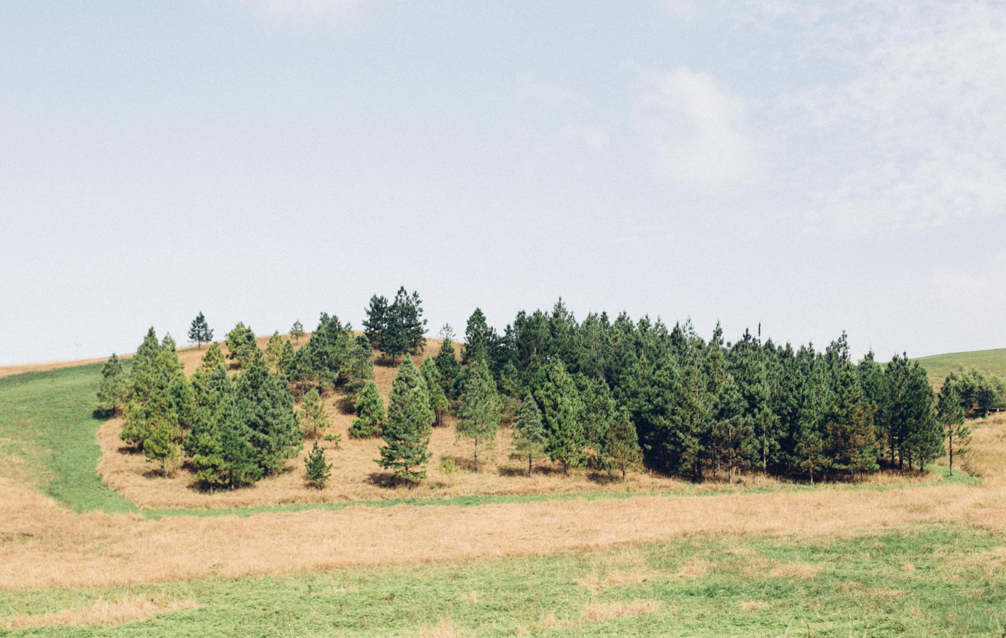 Pines, Obudu
