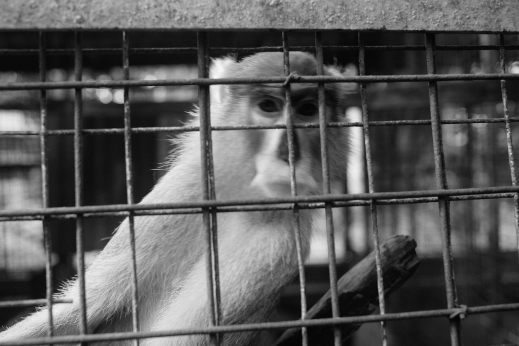 Monkey, Zoo, Benin