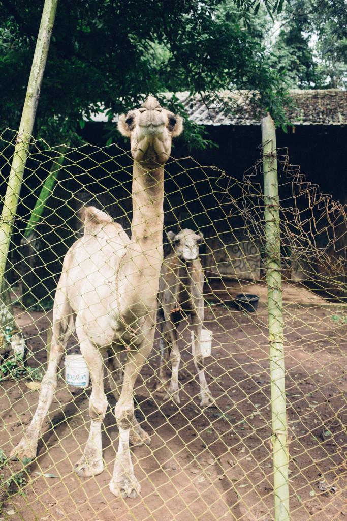 Camel, Zoo, Benin