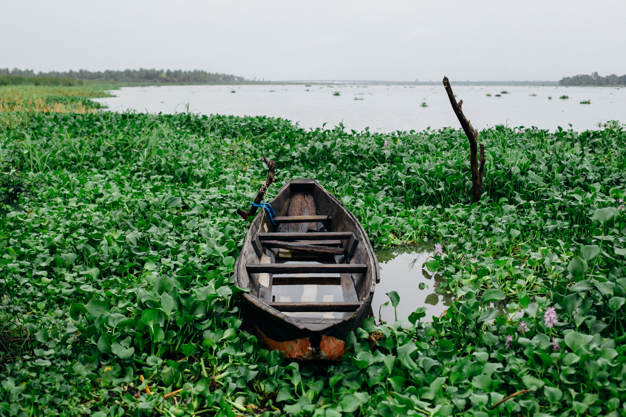 Canoe surrounded by water hyacinth, Badagry