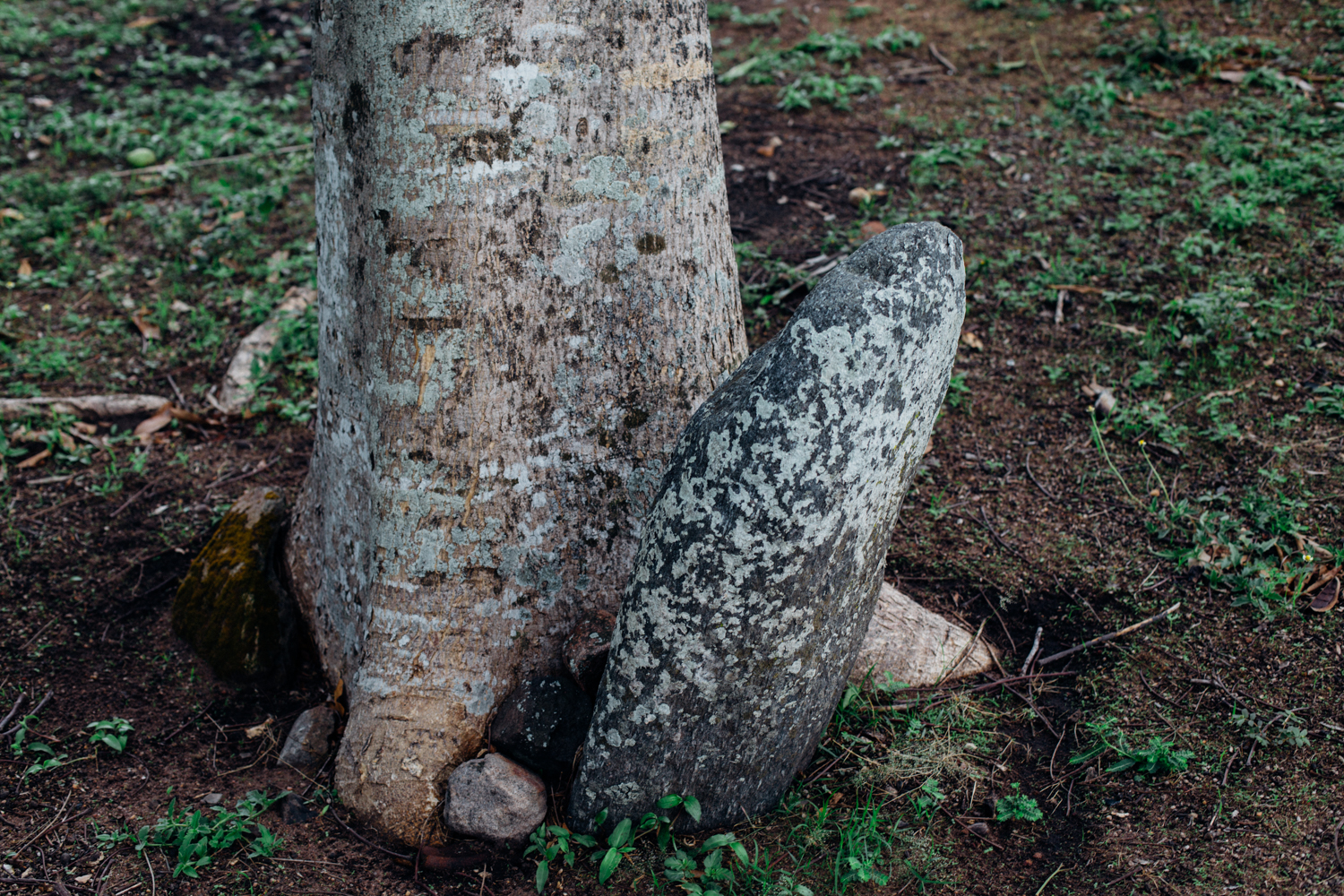 Ikom Stone Monolith being pushed by the stem of a tree